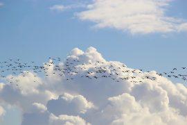 bird migrations